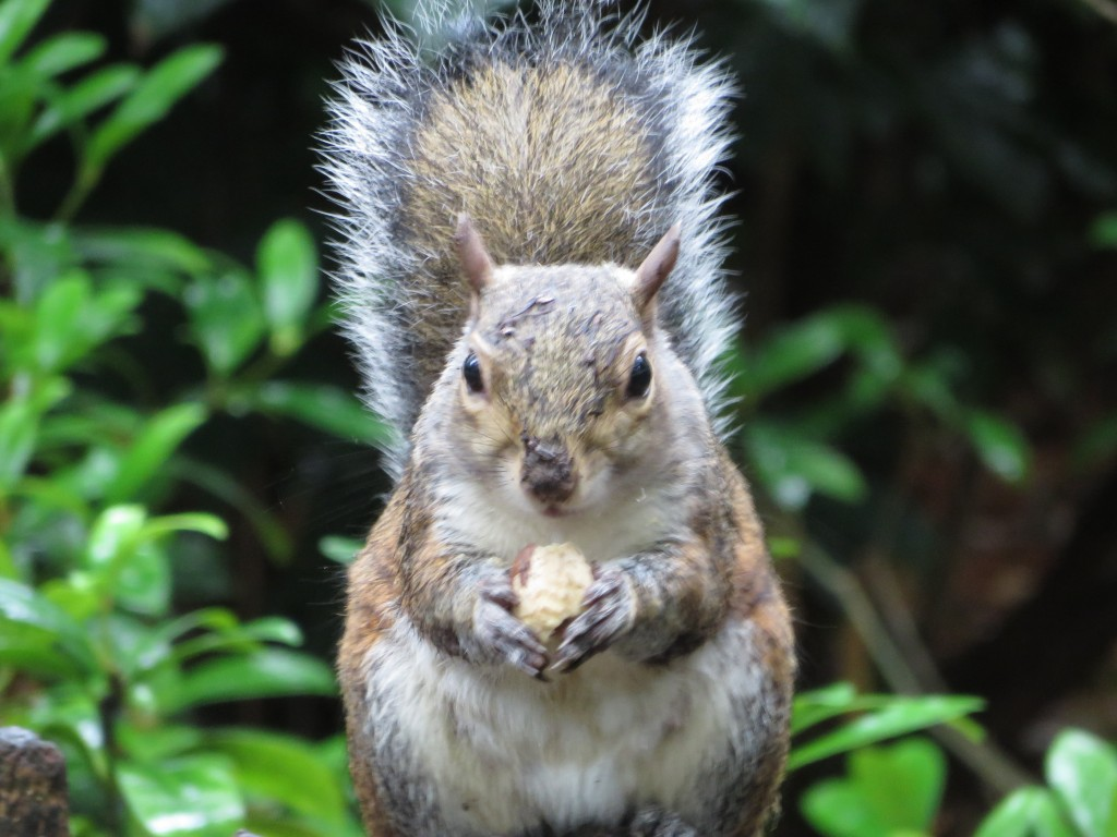 Squirrel in Golders Hill, London